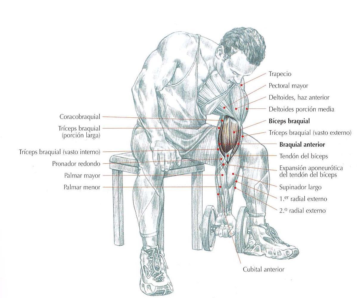 Gana Volumen Muscular Con El Curl De B 237 Ceps Concentrado