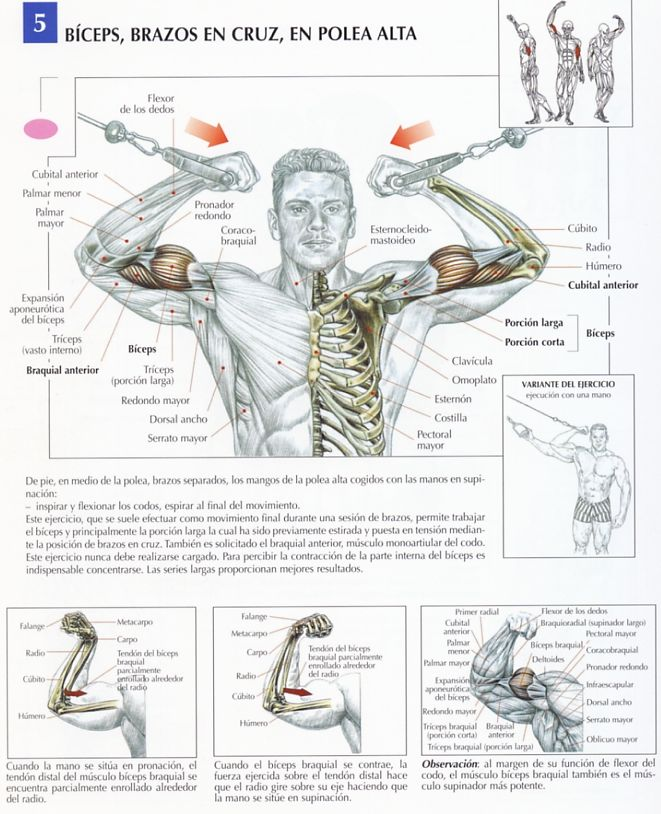 Bíceps, brazos en cruz, polea alta