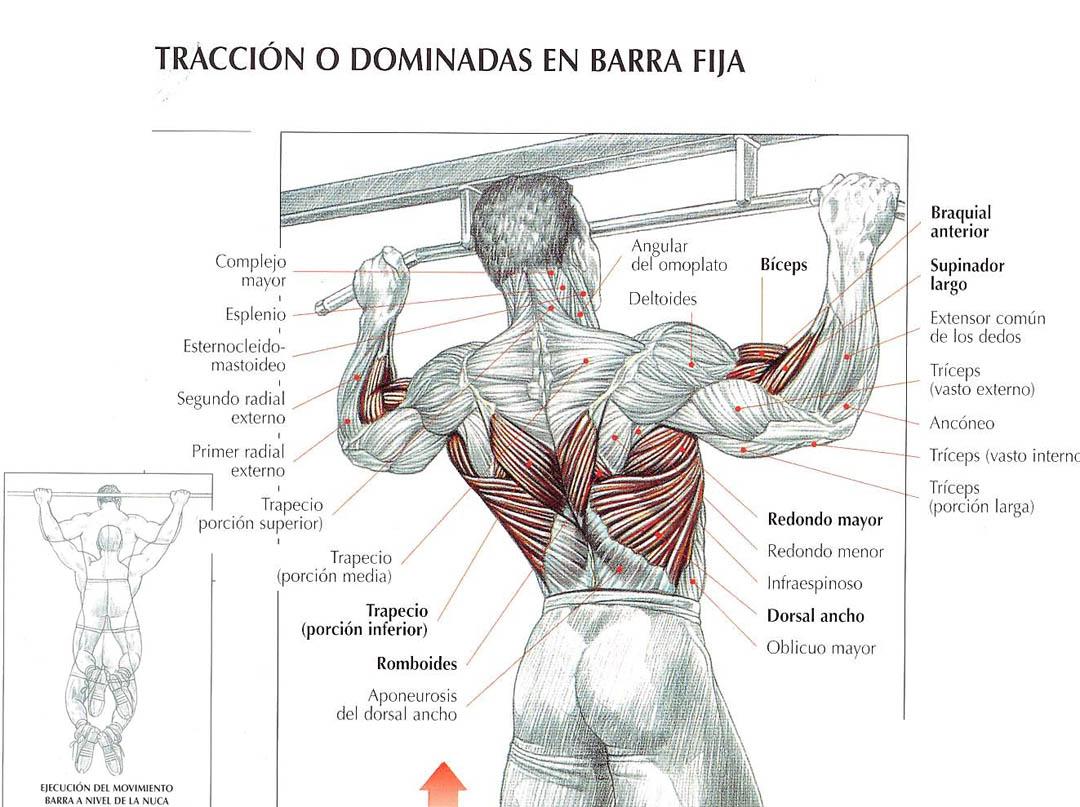Único Fotos Músculos De La Espalda Ilustración - Imágenes de ...