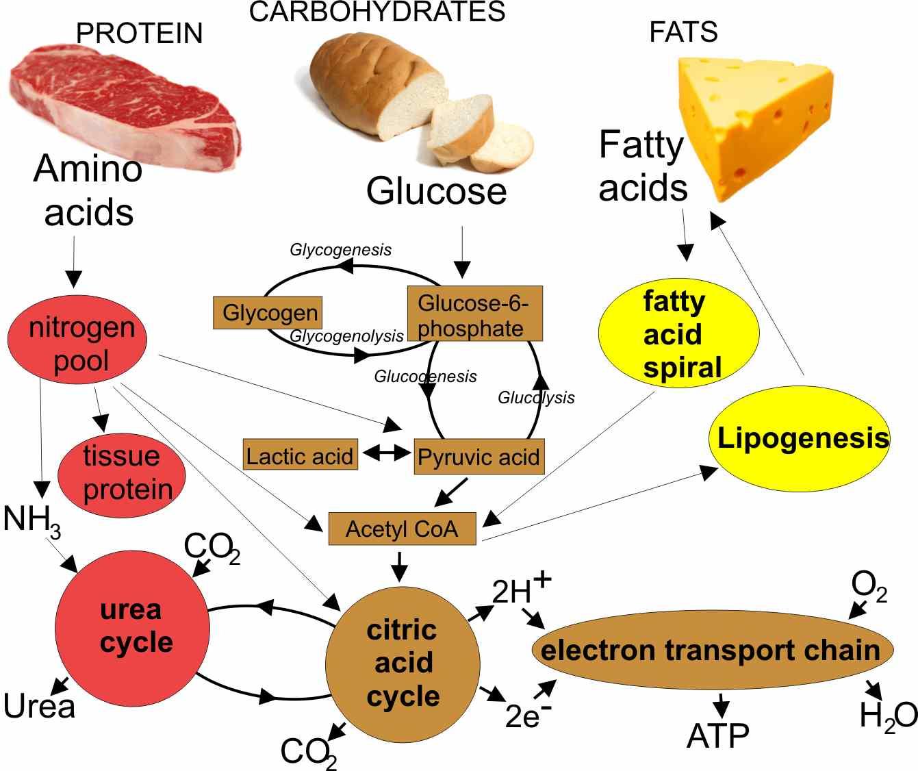 convertir la proteína en grasa