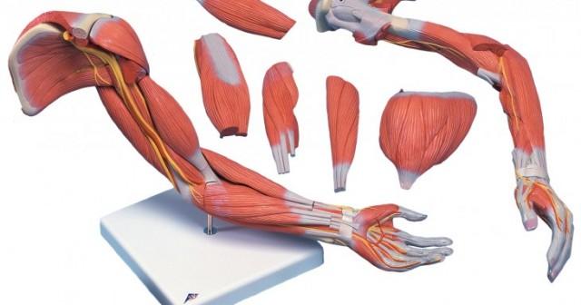 ejercicios para brazo