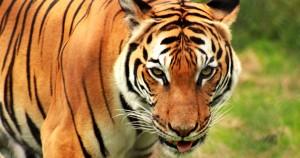 Flexiones del tigre