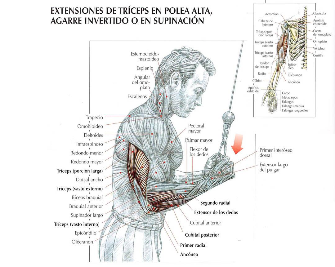 Extensiones de tríceps con polea agarre invertido
