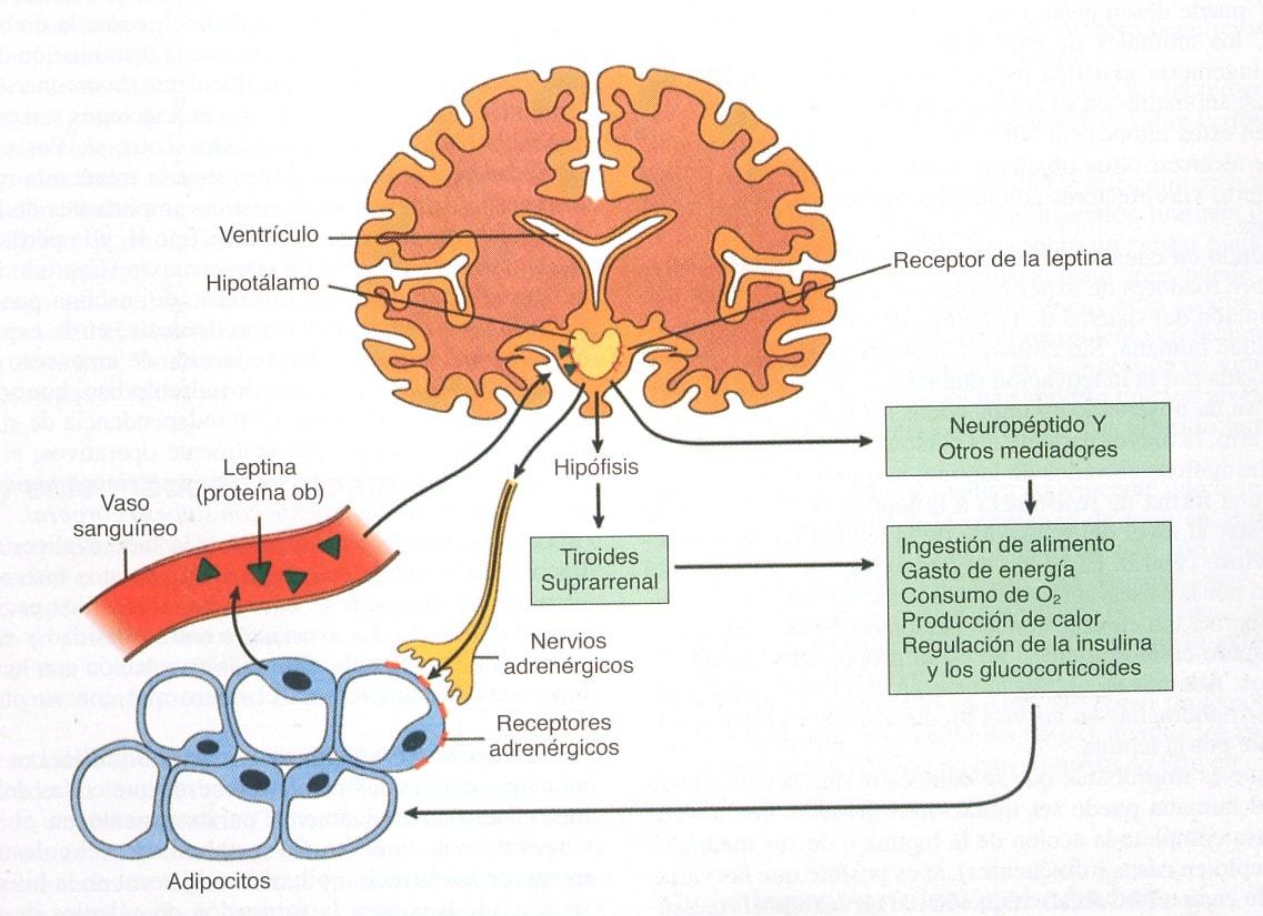 hormona leptina