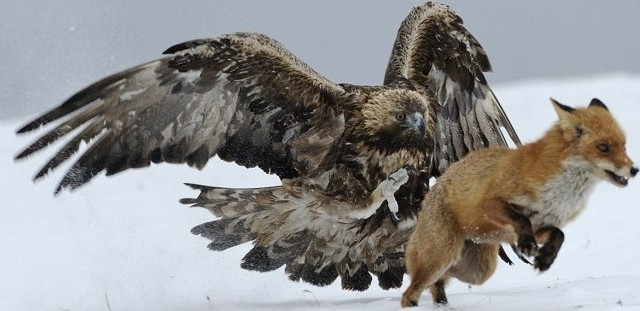 abdominales del águila