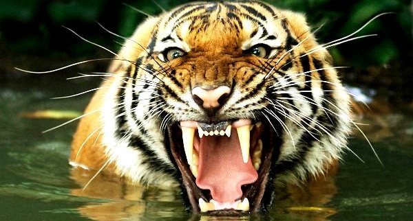 Flexiones del tigre hardcore
