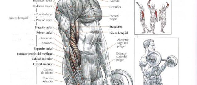 Ejercicios para brazos con pesas