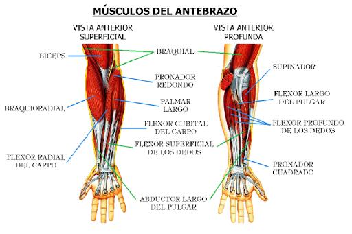 musculos-antebrazo