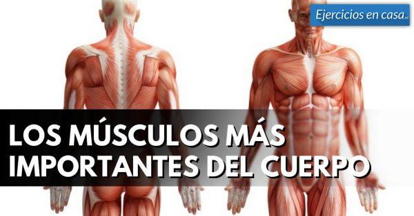 Los músculos más importantes del cuerpo - Ejercicios En Casa